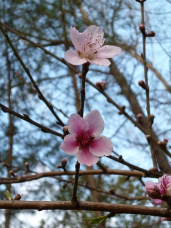 also wild peach blossoms
