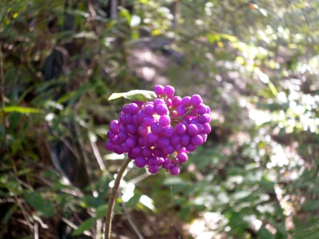 beautyberry 2